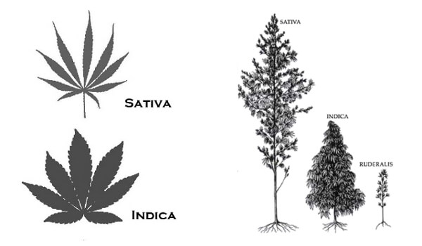 Know Your Type: Cannabis Classifications